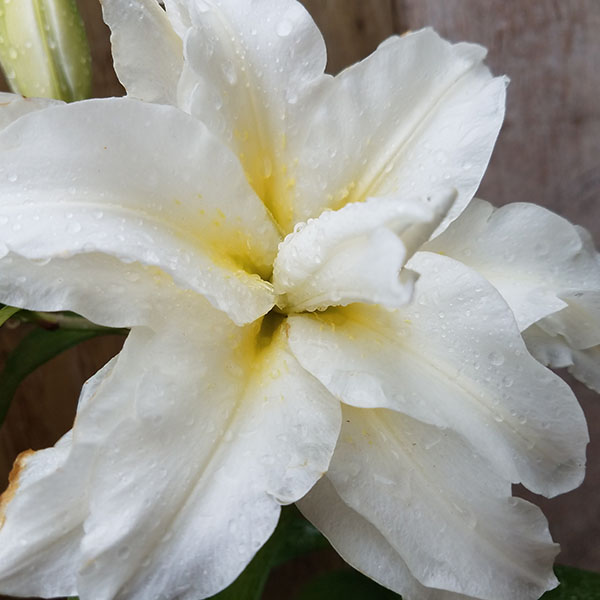 Whitedaylily